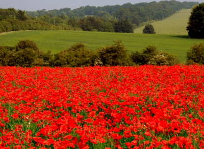 Poppy-field-well-house-lane-june-2007-1